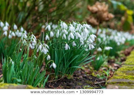 The first signs of spring. Winter aconite and snowdrops Stock photo © Klinker