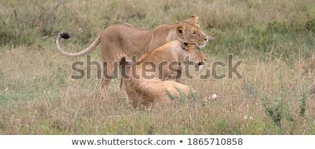 Dwa klejenie trawy parku Botswana podróży Zdjęcia stock © simoneeman