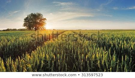 Verde amarelo campo de trigo agricultura cereal colheita Foto stock © romvo
