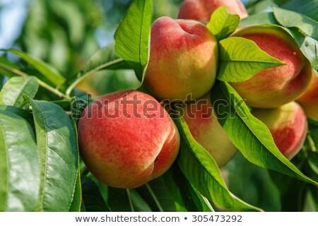 緑 桃 果樹 フルーツ 背景 ファーム ストックフォト © digoarpi