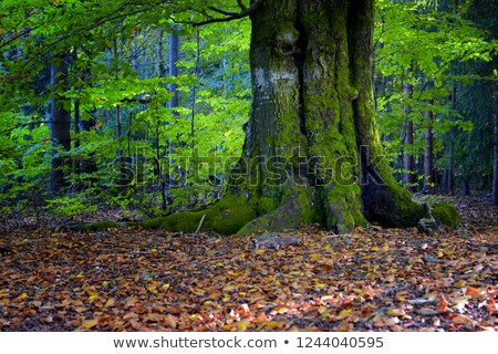 Foto stock: Pormenor · velho · majestade · carvalho · europeu · floresta