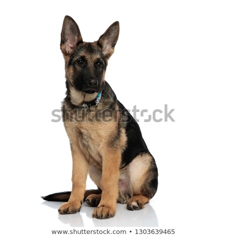 adorable german shepard with blue collar looks to side Stock photo © feedough