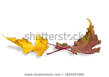 Two yellow autumn leave on dark background Stock photo © jeancliclac