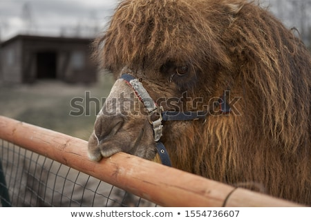 Camello ilustración primer plano naturaleza fondo azul Foto stock © colematt