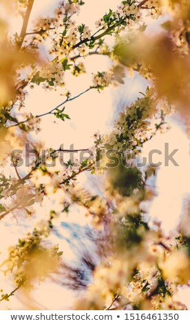 Vintage cherry flowers in bloom at sunrise as nature background  Stock photo © Anneleven
