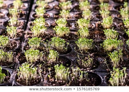 Verscheidene klein groene zaailingen Stockfoto © pressmaster