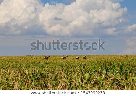 Campo corrida natureza jovem animal Foto stock © rcarner