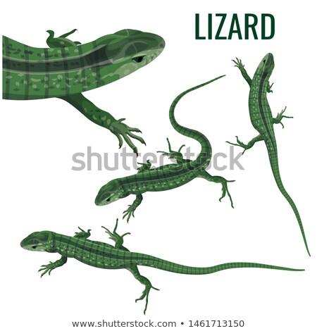 lagarto · colorido · isolado · branco · verde · azul - foto stock © angelsimon
