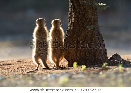 two meerkat stock photo © witthaya