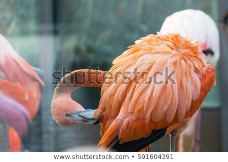 pink chilean flamingo feathers ball stock photo © billperry