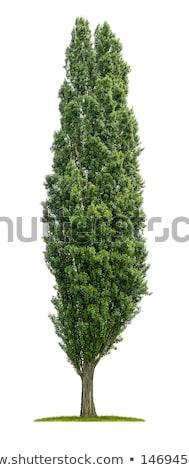 изолированный тополь дерево белый древесины зеленый Сток-фото © Zerbor