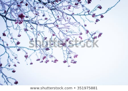 spruce branch with hoar frost stock photo © zhekos