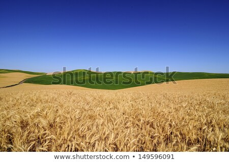 Ripe Wheat Field Blue Skies Palouse Washington State Stock photo © billperry