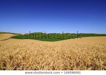 зрелый · пшеницы · красивой · Blue · Sky · желтый · области - Сток-фото © billperry