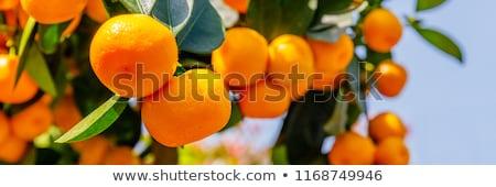 Közelkép narancsfa természet szépség zöld csoport Stock fotó © Nejron