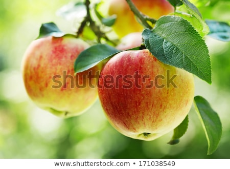 Pomme arbres feuille suspendu arbre Photo stock © EFischen