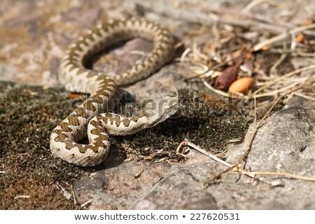 european sand viper camouflaged in situ Stock photo © taviphoto