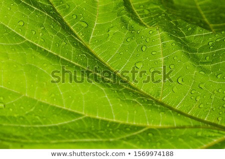 Wine Leafs Background Stock photo © milsiart