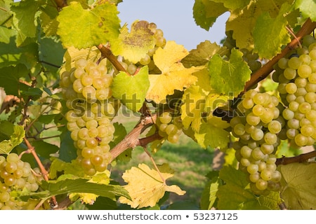 bunch of green grapes on grapevine right before harvest Stock photo © meinzahn