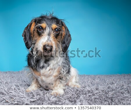 Stock photo: wired hair mutt dog looking