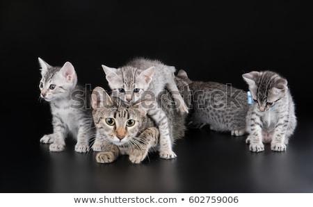 Foto stock: Bonitinho · egípcio · pequeno · gatinho · prata · naturalmente