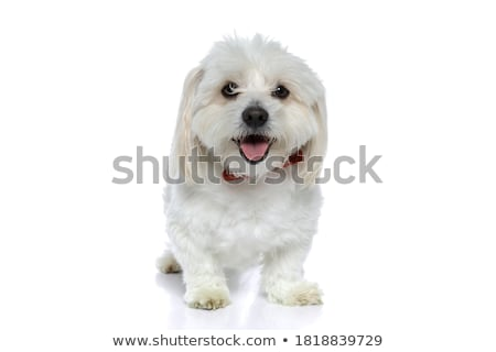 bichon puppy is sitting and sticking out tongue Stock photo © feedough