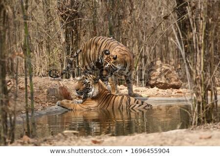 Тигры пруд иллюстрация искусства тигр Сток-фото © bluering