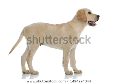 curious golden retriever standing and looking up to side Stock photo © feedough