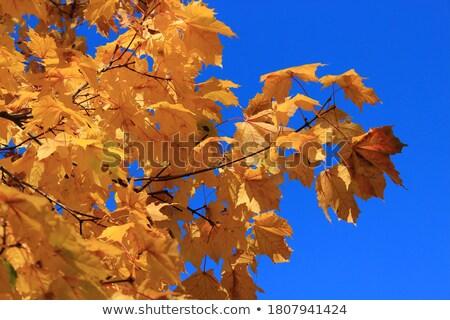 осень · клен · листьев · синий · скамейке - Сток-фото © TanaCh