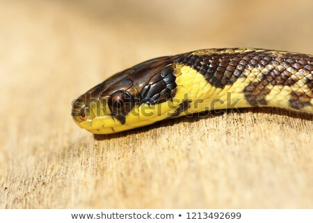 detail of juvenile colorful Zamenis longissimus Stock photo © taviphoto
