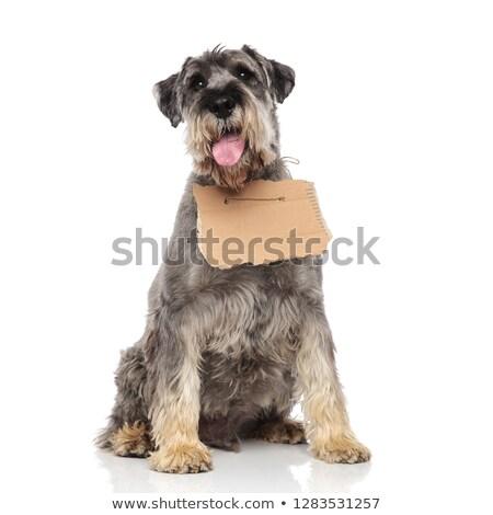 Adorável schnauzer cinza cartão assinar Foto stock © feedough