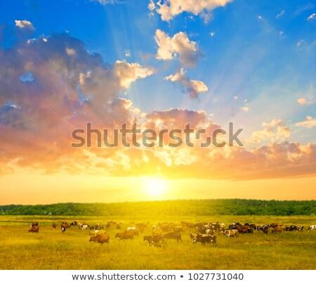 Vaca rebanho pôr do sol luz animais casa Foto stock © taviphoto