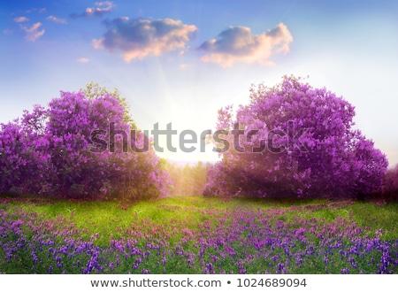 сирень цветы весны саду цвести трава Сток-фото © ElenaBatkova
