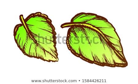 базилик листьев свежие Spice питание чернила Сток-фото © pikepicture