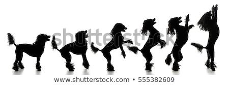 Evolutie silhouet geïsoleerd witte hond achtergrond Stockfoto © vauvau