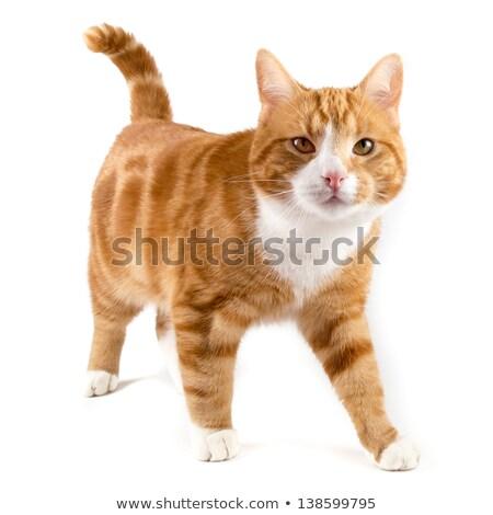 Blanche chat marche chinchilla visage cheveux Photo stock © Ansonstock