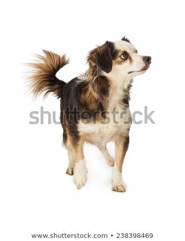 Zwarte gemengd ras hond witte achtergrond Stockfoto © eriklam