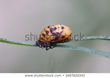 Harlequin Ladybird Pupa Stock photo © suerob