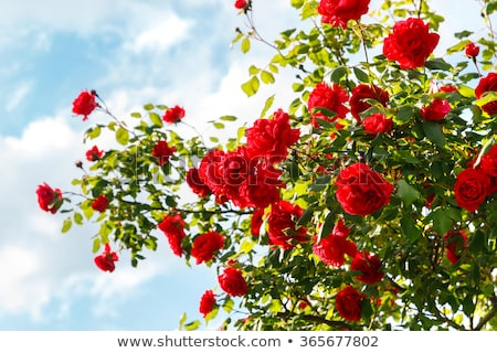 red rose and blue sky stock photo © inaquim