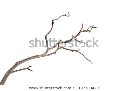twigs silhouette leafless branches on white background Stock photo © sirylok