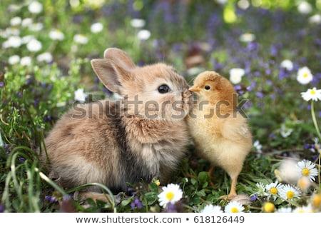 ひよこ バニー イースター 草 面白い 動物 ストックフォト © JanPietruszka