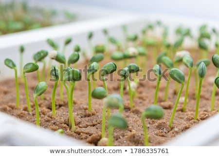 seedlings of bean Stock photo © phbcz