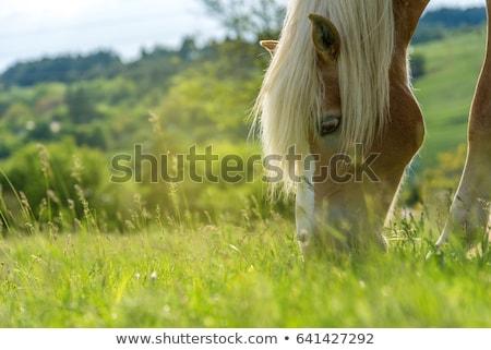 Ló fehér ló legelő fák mező zöld Stock fotó © raywoo