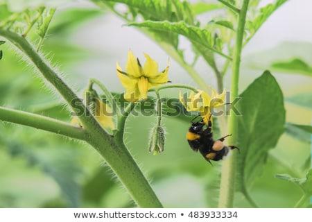 Black Bee Pollinating Flower Stock photo © rhamm