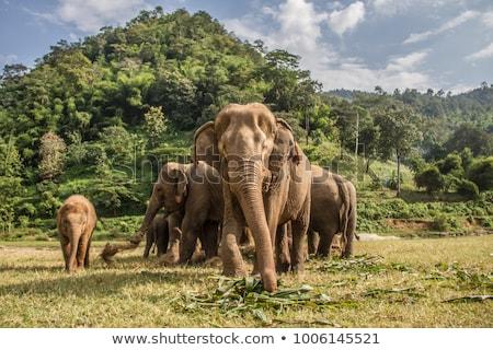 Elephant in the wild Stock photo © Donvanstaden