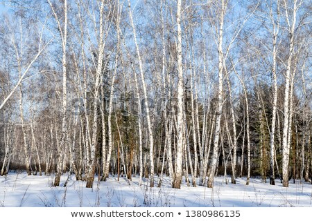 Kış huş ağacı orman dondurulmuş manzara kar Stok fotoğraf © Mikko
