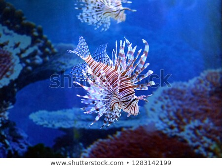 Color lionfish swims behind sea background. Stock photo © justinb