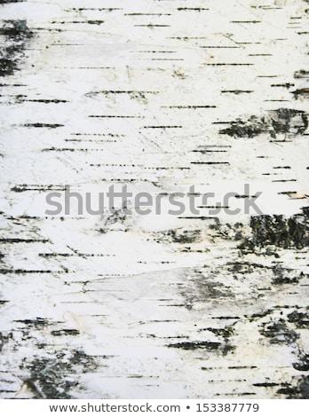 Detalle abedul árbol corteza naturaleza jardín Foto stock © meinzahn