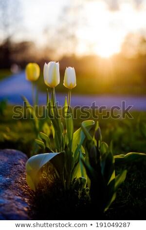 チューリップ 日没 空 花 雲 幸せ ストックフォト © phila54