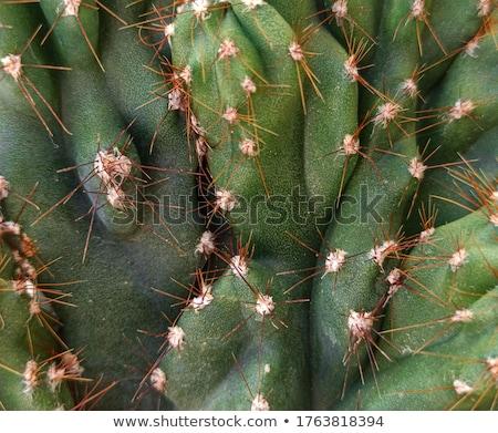 кактус цветок саду пустыне красивой Сток-фото © tang90246